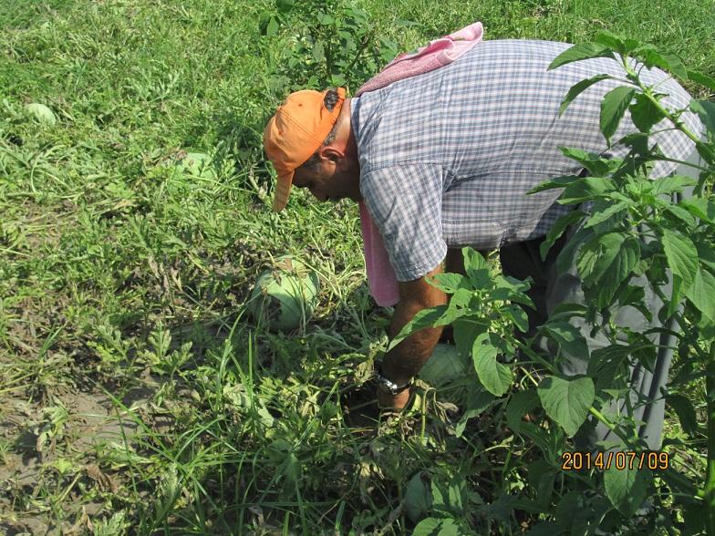 هندوانه چاف